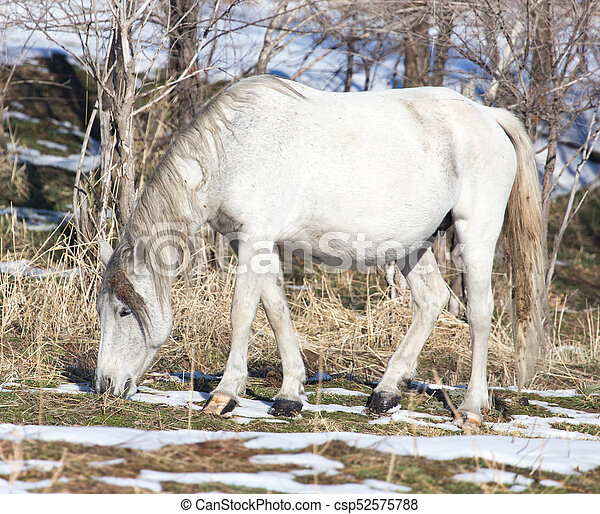 white horse on nature in winter - csp52575788