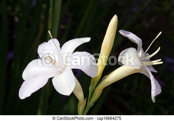 White Hosta Flower Two Long Stemmed White Hosta Flowers