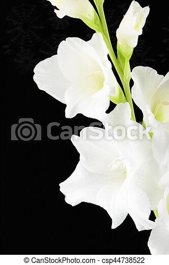 White large flowered gladiolus flower black background one single white large flowered gladiolus flower black background csp44738522 mightylinksfo
