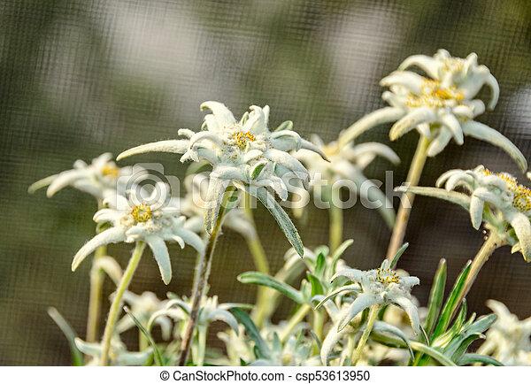 White leontopodium nivale edelweiss mountain flowers close white leontopodium nivale edelweiss mountain flowers close up csp53613950 mightylinksfo