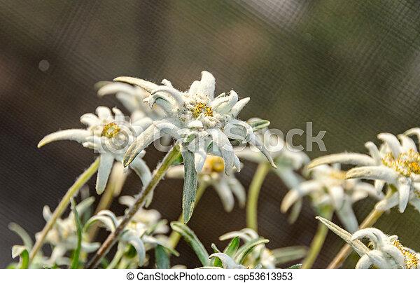 White Leontopodium Nivale Edelweiss Mountain Flowers Close Up