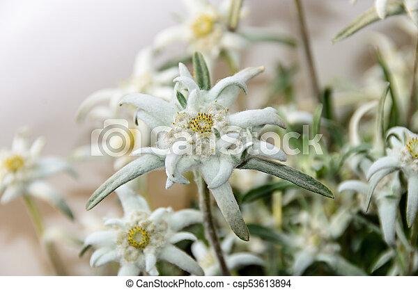 White leontopodium nivale edelweiss mountain flowers close up mightylinksfo