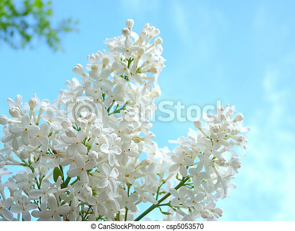 White lilac on a background of beautiful blue sky - csp5053570