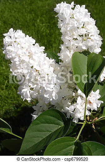 white lilacs in full bloom. a beautiful white lilac tree