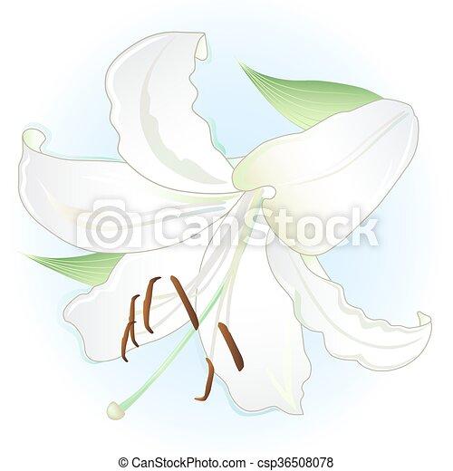 White lily - csp36508078