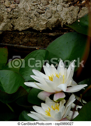 White lily in a pond. - csp0989027