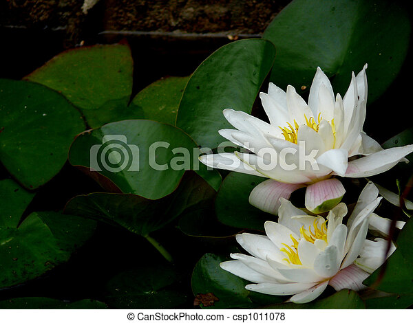 White lily in a pond. - csp1011078