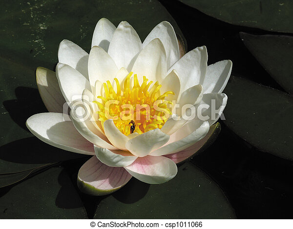 White lily in a pond. - csp1011066