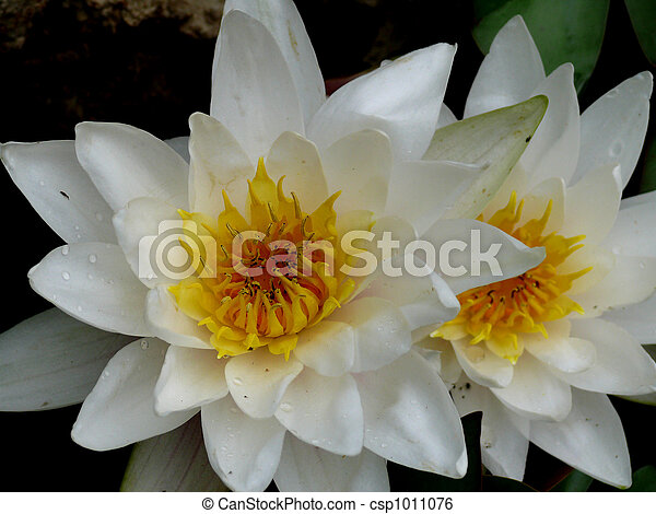 White lily in a pond. - csp1011076