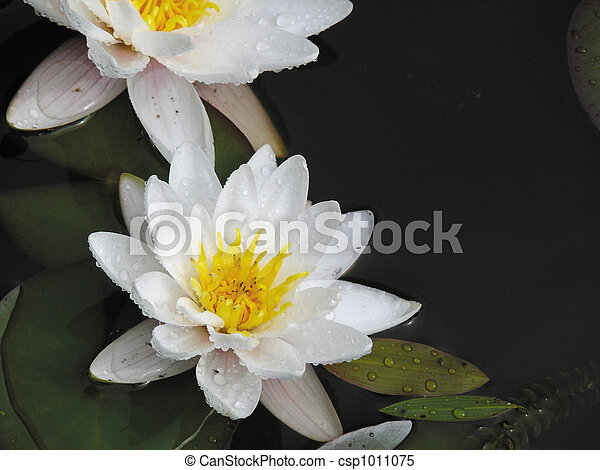 White lily in a pond. - csp1011075