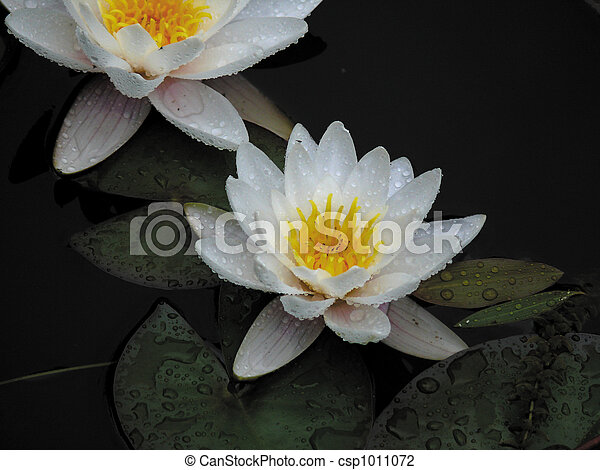 White lily in a pond. - csp1011072