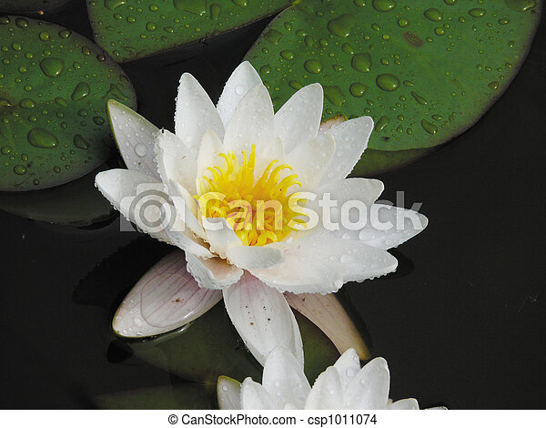 White lily in a pond. - csp1011074