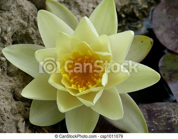 White lily in a pond. - csp1011079
