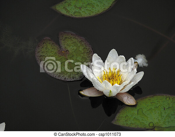 White lily in a pond. - csp1011073