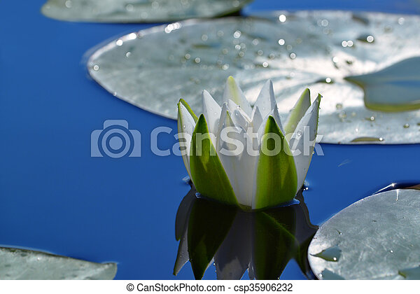 White Lily in a pond - csp35906232