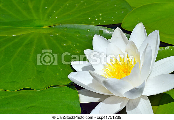 White Lily in the pond. - csp41751289