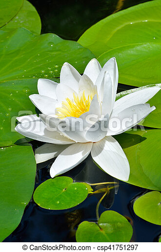 White Lily in the pond. - csp41751297