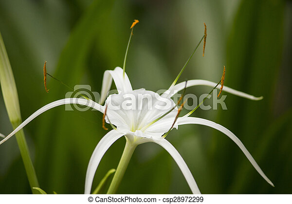 White lily like flower spider lily white lily like flower has long white lily like flower spider lily csp28972299 mightylinksfo