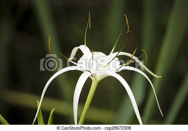 White lily like flower spider lily white lily like flower has long white lily like flower spider lily csp28972308 mightylinksfo