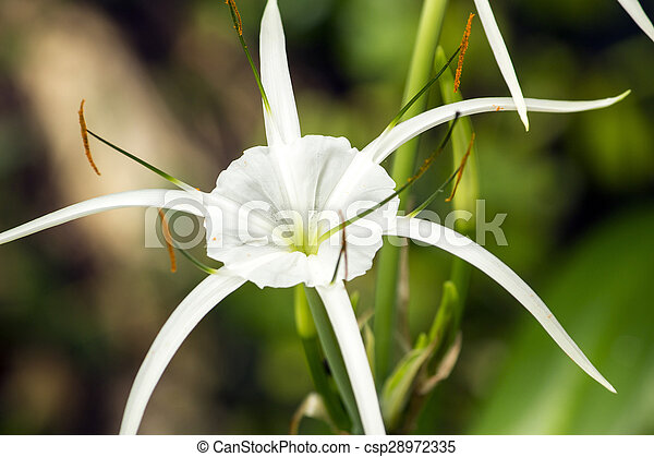 White lily like flower spider lily white lily like flower has long white lily like flower spider lily csp28972335 mightylinksfo