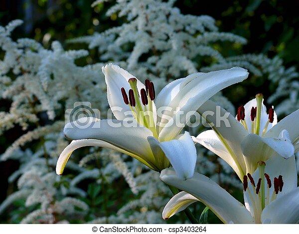 White lily. - csp3403264