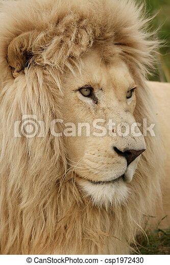 White Lion Portrait - csp1972430