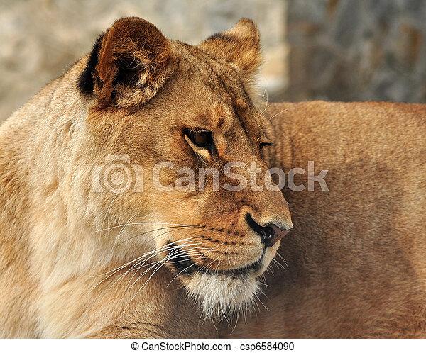 White lioness - csp6584090