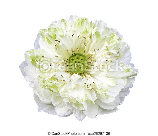 White lotus flower isolated - csp26297136
