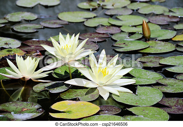 White Lotus Flowers In The Pond Horizontal