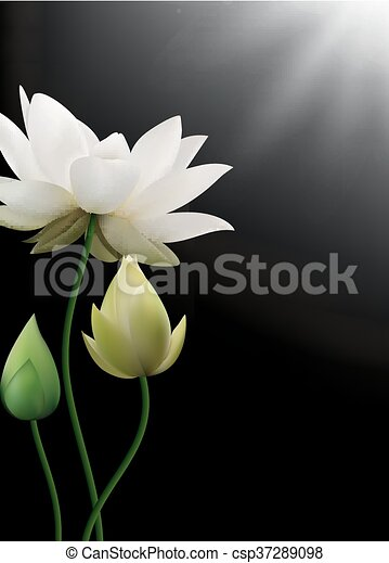 White Lotus Flowers With Rays