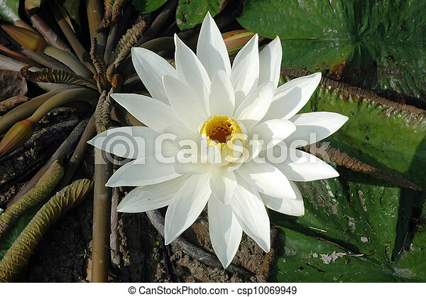 white lotus in a pond - csp10069949
