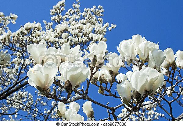 White Magnolia Blossom Bloomy Magnolia Tree With Big White Flowers