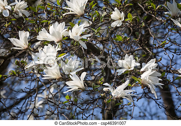Magnolia Kobus White Magnolia Flowers Blooming Magnolia Tree With