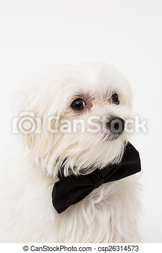 White Maltese dog  - csp26314573