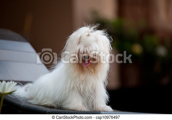 white maltese dog sitting  and rela - csp10976497