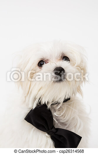 White Maltese dog  - csp26314568