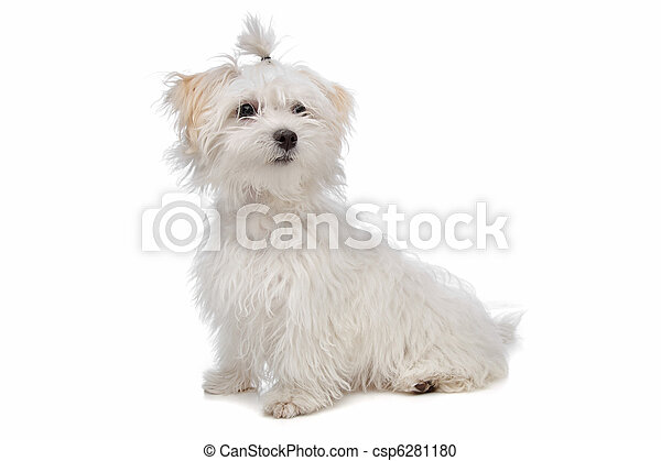 white maltese dog - csp6281180
