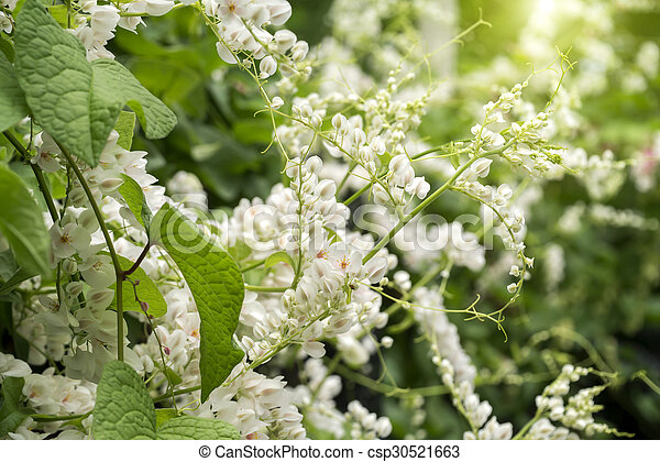 White mexican creeper flower mightylinksfo