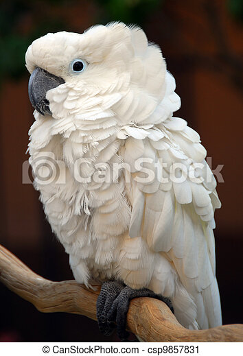White Moluccan Cockatoo parrot bird - csp9857831