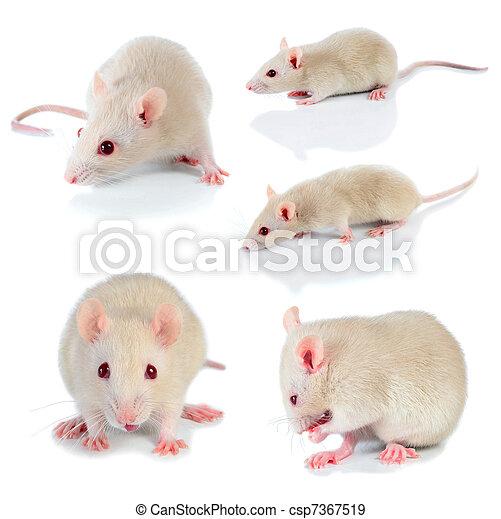 white mouse - csp7367519