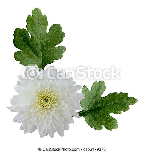 White mum fresh white hardy mum flower and leaves isolated white mum csp6179373 mightylinksfo