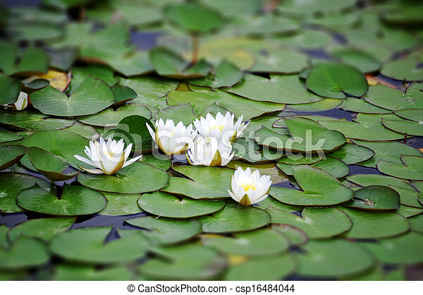 White Nymphaea albas surrounded by leaves - csp16484044