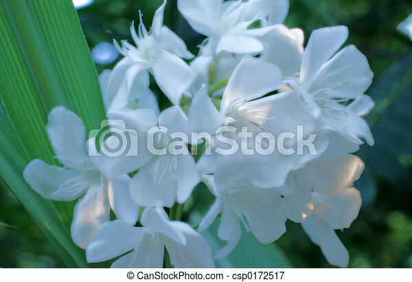 White oleander flowers white oleander flowers mightylinksfo