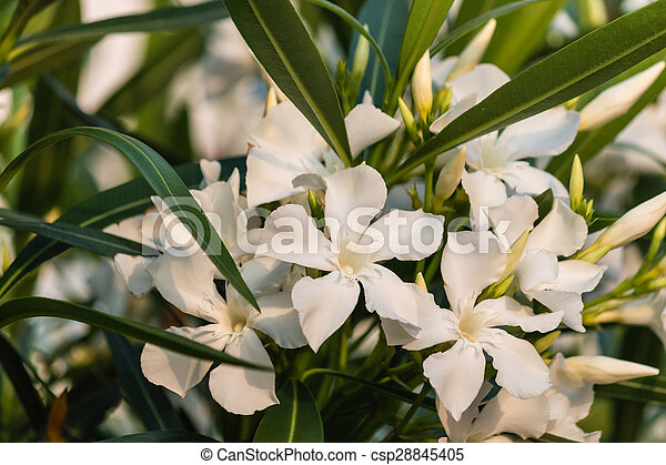 Close Up Of White Oleander Flowers In Bloom