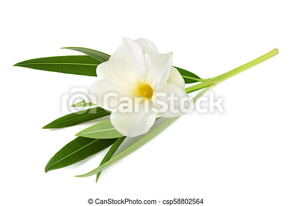 White oleander flower isolated on white background white oleander csp58802564 mightylinksfo