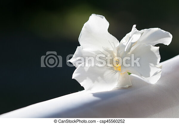 Closeup of white oleander flower white oleander csp45560252 mightylinksfo