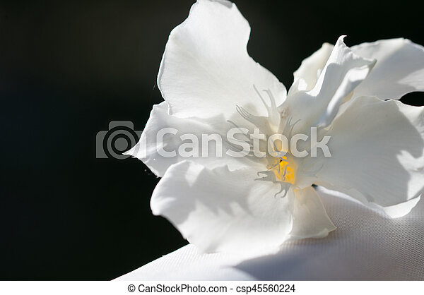 White oleander closeup of whati oleander flower white oleander csp45560224 mightylinksfo