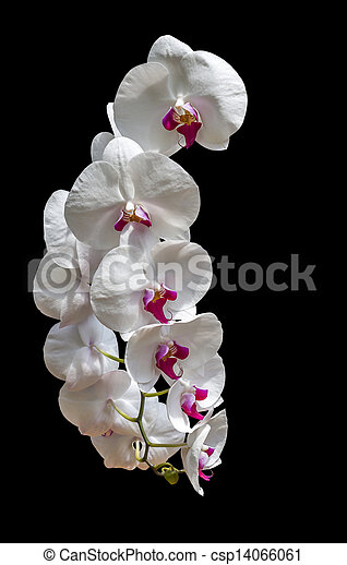 White orchid flowers on black white orchid flowers isolated on white orchid flowers on black csp14066061 mightylinksfo
