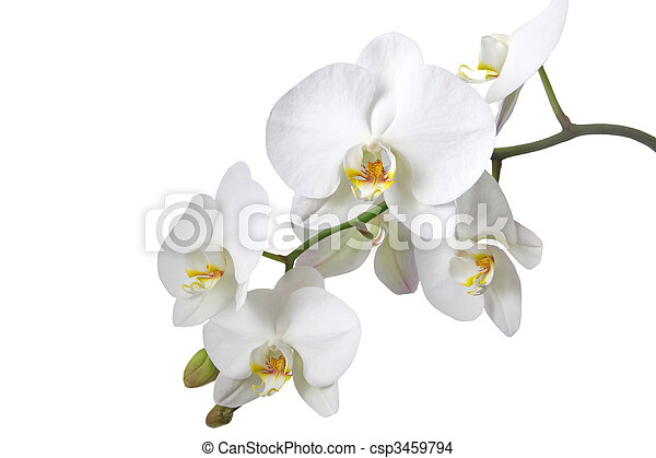 White Orchid - csp3459794