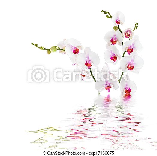 white orchids on water - isolated  - csp17166675